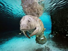 A manatee swims in a freshwater spring in Crystal River, Florida. Manatees struggle for survival as the result of a gantlet of threats, from watercraft strikes to toxins in the water. The most serious threat, however, is the loss of warm water due to habitat loss.