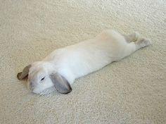 Lop eared rabbits are so cute.