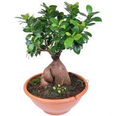 restons zen avec un ficus ginseng avec ou sans bouddha sur son pot cette plante ou bonsa d. Black Bedroom Furniture Sets. Home Design Ideas