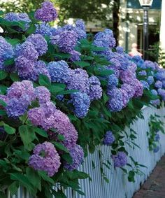 My second favorite... My granny loved hydrangeas or snow ball bushes.... I think of her every time I see them! Every house of the south should have at least one bush :)