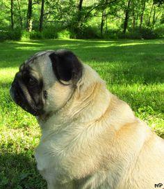 Perfect pug side profile