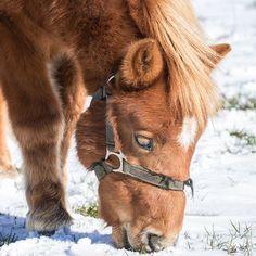Mini snoot in the snow!  . #arrowheadminiponies #arrowheadanimalhealth #vetmed #vethealth #poniesofinstagram #miniponies #picoftheday #winterwonderland #vetlife #animalhealth #instahorses #mane #animalcrossing | http://ift.tt/2fkVbzH |