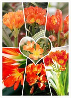 hot sale one pcs Clivia seeds real Clivia flower bulbs (Kaffir Lily ), Bonsai balcony flower for home garden