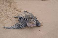 Leatherback Sea Turtle – Saving Wildlife - Wildlife Conservation Society