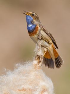 birds of europe     Bluethroat (Luscinia svecica) >>by Paul Cools