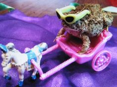 Blanco, the turtle, riding a bike Saphira, the Bearded Dragon, washing her hair Saphira cooking Saphira riding a motorcycle. Les Reptiles, Cute Reptiles, Amphibians, Cute Little Animals, Cute Funny Animals, Baby Animals, Funny Pets, Funny Frogs, Cute Frogs
