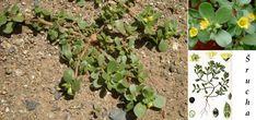 Zapomenutá bylinka našich babiček, šrucha neboli portulák