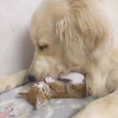 Awww I wish my dog and cat would do this - Golden Retriever - tierbabys Cute Funny Animals, Cute Baby Animals, Funny Dogs, Animals And Pets, Cute Cats, Brave Animals, Cute Animal Videos, Cute Animal Pictures, Kittens Cutest