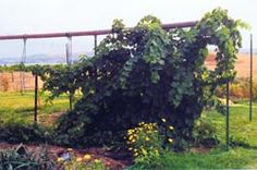 """Propagating Grapes, by Sylvia Gist. """"As a kid in western South Dakota, I enjoyed picking wild grapes and using the delightful juice they produced, so when I eventually acquired property in Montana, I wanted grape vines to help me be self-sufficient. Grow Home, Grape Plant, Tall Planters, Aquaponics System, Aquaponics Garden, Gardening, Growing Grapes, Green Grapes, Potting Soil"""