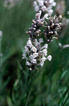 English lavender 'Wendy Carlile'