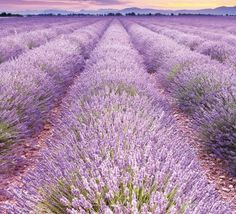 Tapet - Fields of Lavender 198 x 270 cm Fields, Natural Beauty, Lavender, Wallpaper, Nature, Naturaleza, Wallpapers, Nature Illustration, Off Grid