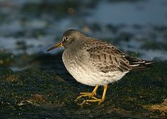 Skärsnäppa Purple Sandpiper winter.jpg