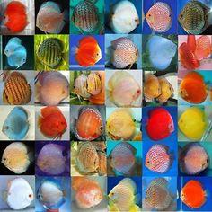 Risultati immagini per discus Discus Aquarium, Freshwater Aquarium Fish, Discus Fish For Sale, Pusheen Cat, Cichlids, Sea Creatures, Fresh Water, Exotic, Cute Animals