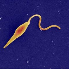 Themes of Parasitology: Leishmania: The Face-Eating Parasite