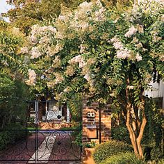 A Brief History of the Crepe Myrtle Many of our best-loved plants first entered the South in Charleston. Here's the fascinating story of the azalea got through the region's garden gateway and to your backyard.