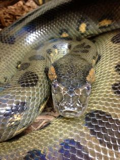 Green Anaconda (Eunectes murinus) - Among the longest and heaviest snakes in the…