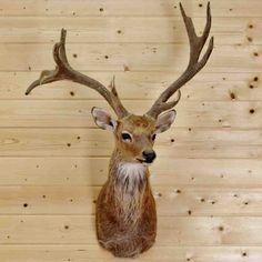 Barasingha Deer Taxidermy Mount - SW3104 for sale at Safariworks Taxidermy Sales