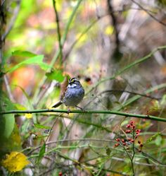 White Throated Sparrow 2   Artist  Deena Stoddard   Medium  Photograph - Photograph    Description  Crisp facial markings make the White-throated Sparrow an attractive bird as well as a hopping, flying anatomy lesson. There's the black eyestripe, the white crown and supercilium, the yellow lores, the white throat bordered by a black whisker, or malar stripe.