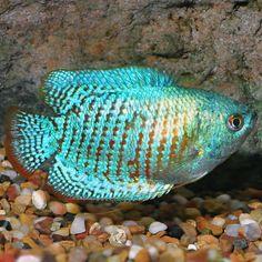 Brine Shrimp, Floating Plants, Freeze Drying, Freshwater Aquarium, Vertical Stripes, Tropical Fish, Dwarf, Fresh Water, Aquariums