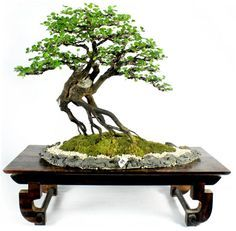 wann man einen bonsai am stamm schneidet oder s gt kert szet pinterest pflanzen bonsai. Black Bedroom Furniture Sets. Home Design Ideas