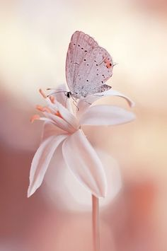 Light pink flower and butterfly