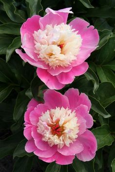 Peony Paeonia 'Cora Stubbs' (W. Kreckler 85)