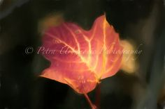 Red leaf... painterly photography Photography For Sale, Fine Art Photography, Colours, Autumn, Prints, Red, Art Photography, Fall, Rouge