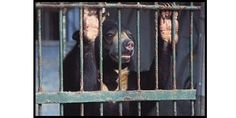 More signatures needed Save the Malayan Sun Bear from Extinction