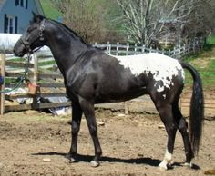 Appaloosa Horse , 1973, Barney didn't look quite this good! But we had fun!