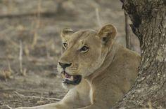 Africa Tanzania (Tanzania) Tanzania, Lion, Africa, Animals, Leo, Animales, Animaux, Lions, Animais