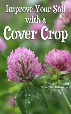 improve garden soil with a cover crop