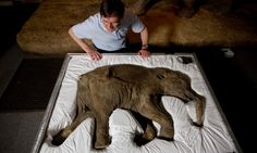 Lyuba, a baby woolly mammoth discovered frozen in clay and mud in Russia's Yamal Peninsula in Siberia.