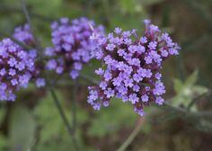 lollipop verbena | Verbena bonariensis 'Lollipop' | Plantify