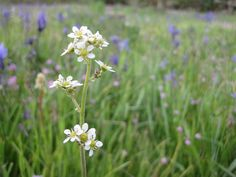 Saxifraga oregana at Camassia Preserve in West Linn, OR