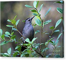Catbird Posing Canvas Print by Deb Hayes