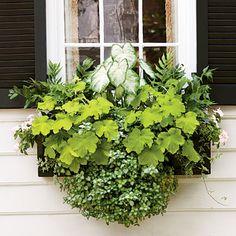 Shady Spot Window Box   'Aaron' caladium, holly fern, 'Key Lime Pie' heuchera, 'White Nancy' lamium, ivy, and light pink periwinkle