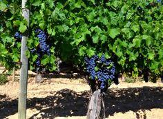 Un butuc de Cabernet Sauvignon de peste 20 de ani. Cabernet Sauvignon, Ale, Plants, Ales, Plant, Planting, Planets