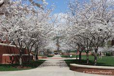 Dogwood Trees at Western Kentucky University in Bowling Green, KY - taken by Tonia Beavers