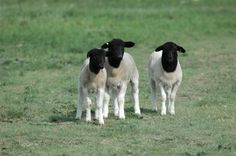 Isabelle Lauziere and Lloyd Wendel have carefully breathed life into a vision to embrace the potential the Dorper breed of sheep can provide in sustainable agriculture affording them an opportunity to manager their natural resources and enhance forage quality.