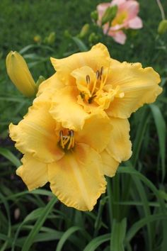 Daylily Dutch Yellow Truffle by Elizabeth Barrow, via Flickr