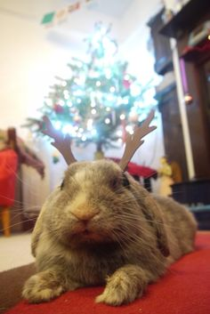 Relaxing bunny doesn't exactly share a reindeer's work ethic - December 24, 2012