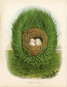 Antique Spring Nest to be printed. From a 1880′s Natural History Bird Book. Just lovely.