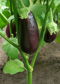 Fruit and Vegetable Gardening A-Z: Eggplant | SparkPeople