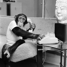 chimpanzee wearing human clothes holds a telephone