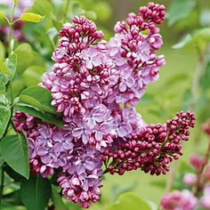 Spring-Flowering Trees and Shrubs