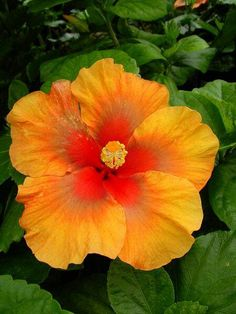 hibiscus flower and leaves paste for hair Hibiscus Plant, Hibiscus Flowers, Flowers Nature, Exotic Flowers, Orange Flowers, Amazing Flowers, Wild Flowers, Beautiful Flowers, Tropical Plants
