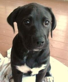 Baby Boxador-- maybe this would be a cheaper/more feasible option than a vizsla?
