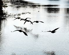 Geese in Flight,Leicester canal
