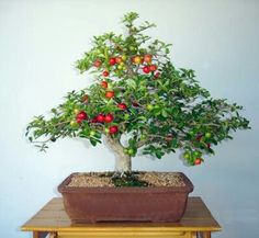 8 Bonsai Apple Ideas Bonsai Bonsai Plants Bonsai Fruit Tree