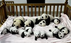 In this Monday, Sept. 23, 2013 photo, fourteen panda cubs are arranged in a crib for photos as they are shown to the public at the Giant Panda Breeding and Research Base in Chengdu, in southwest China's Sichuan province. (AP Photo)